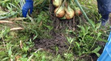 玉葱掘り3