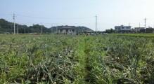 玉葱掘り1